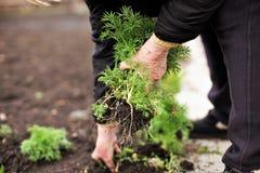 Femme supérieure tenant une jeune plante verte dans des mains dans la perspective d'un potager terrestre photographie stock