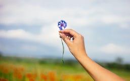 Femme tenant la fleur de maïs d'été dans le domaine Fond brouillé de pavots photographie stock