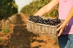 Femme tenant le panier avec des raisins juteux mûrs frais images stock