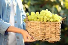Femme tenant le panier avec des raisins juteux mûrs frais photo libre de droits