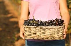 Femme tenant le panier avec des raisins juteux mûrs frais dans le vignoble photos stock