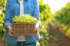 Femme tenant le panier avec des raisins juteux mûrs frais dans le vignoble photographie stock libre de droits