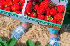 Femme tenant le panier de boîte de carton avec la fraise sélectionnée fraîche délicieuse Premier tir Espadrilles brouillées par b Image libre de droits