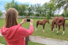 Femme tenant le smartphone avec l'écran vide et prenant la photo des chevaux photo stock