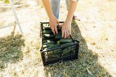 Femme tenant les concombres récemment récoltés photos stock