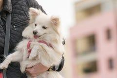 Femme tenant un chien de Spitz dans des ses bras Image libre de droits