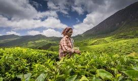 Femme travaillant dans des jardins de thé dans Munnar Images stock