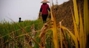Femmes asiatiques dans des domaines de riz photo libre de droits