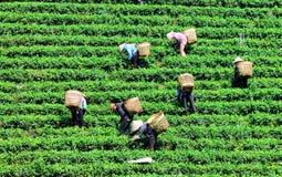 Femmes avec le chapeau conique moissonnant le thé photo stock