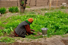 Femmes dans l'agriculture ou le jardinage Photographie stock libre de droits