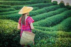 Femmes dans la tribu locale de colline tenant de jeunes feuilles de thé vertes sur la colline le soir avec le rayon de coucher du photo libre de droits