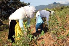 Femmes de remorquage moissonnant des lames de coca en Bolivie photographie stock libre de droits