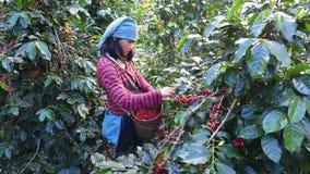 Femmes de Thaïlande sélectionnant la graine rouge de café sur la plantation de café clips vidéos