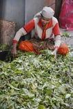 Femmes indiennes assortissant des feuilles de thé Images libres de droits