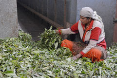 Femmes indiennes assortissant des feuilles de thé Photographie stock