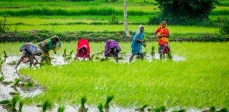 Femmes indiennes dans la rizière photos stock