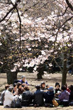 Femmes japonais buvant du thé sous la fleur de cerise Photos stock