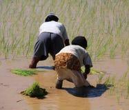 Femmes plantant le riz images libres de droits