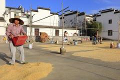 Femmes rurales portant le riz récemment récolté, adobe RVB image stock