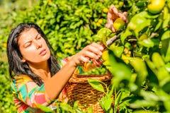 Femmes sélectionnant des fruits d'un arbre photos libres de droits