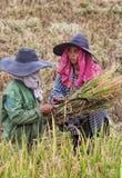Femmes travaillant dans des domaines de riz de l'Indonésie Image libre de droits