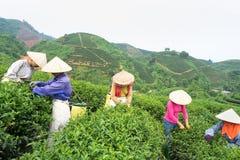 Femmes vietnamiennes sélectionnant des feuilles de thé à une plantation de thé image stock