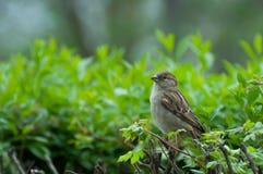 Femmina adulta del passero che si siede su un ramoscello Fotografie Stock
