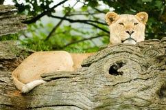 Femmina africana del leone Immagini Stock Libere da Diritti