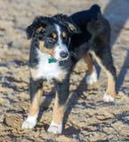 Femmina australiana miniatura di American Shepherd Puppy del pastore fotografia stock