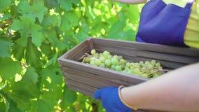 Femmina caucasica in grembiule blu ed in guanti di giardinaggio che raccolgono l'uva in vigna video d archivio