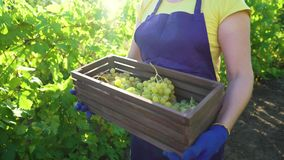 Femmina caucasica in grembiule ed in guanti di giardinaggio che portano scatola di legno con l'uva video d archivio