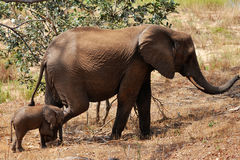 Femmina con un vitello da 2 settimane, cittadino dell'elefante di Kruger Immagine Stock
