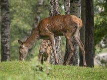 Femmina dei cervi con il suo cucciolo Immagini Stock Libere da Diritti