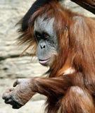 Femmina del abelii del pongo dell'orangutan di Sumatran Fotografie Stock