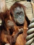 Femmina del abelii del pongo dell'orangutan di Sumatran con un bambino Fotografie Stock