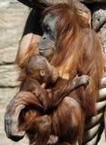 Femmina del abelii del pongo dell'orangutan di Sumatran con un bambino Immagine Stock