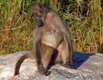 Femmina del babbuino Fotografie Stock Libere da Diritti