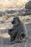 Femmina del babbuino con un cucciolo Fotografie Stock Libere da Diritti
