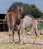 Femmina del cammello di Dromedare Immagini Stock Libere da Diritti