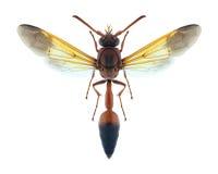 Femmina del dimidiatipenne di delta della vespa Fotografie Stock