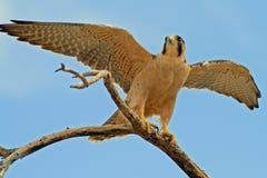 Femmina del falco di Lanner fotografie stock libere da diritti