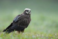 Femmina del falco di palude nel colore accoppiamento sul prato Fotografia Stock Libera da Diritti