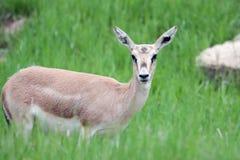 Femmina del gazelle del Thomson Immagine Stock