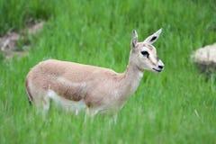 Femmina del gazelle del Thomson Fotografie Stock