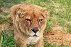 Femmina del leone fotografie stock