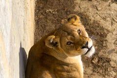 Femmina del leone Immagini Stock Libere da Diritti