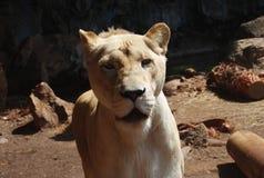 Femmina del leone Fotografia Stock