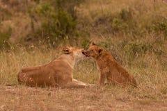 Femmina del leone con il bambino Immagini Stock Libere da Diritti