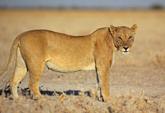 Femmina del leone in sole di mattina, Etosha, Namibia Fotografie Stock Libere da Diritti