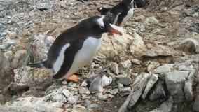 Femmina del pinguino di Gentoo che si siede vicino al nido con due pulcini recentemente covati degli aquilotti archivi video
